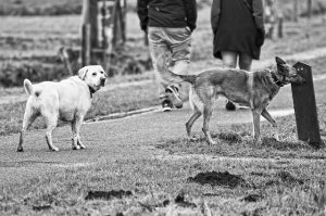 dogs often want to sniff each other's bums during a walk