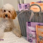 a toy poodle enjoys this healthy dog food